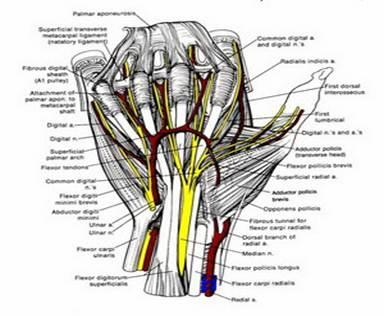 анатомия кисть лучезапястный сустав